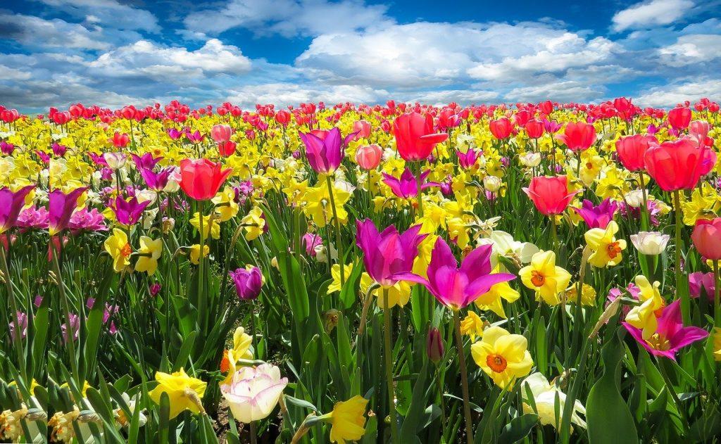 tulips, daffodils, flowers